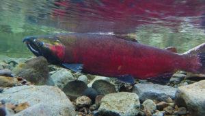 Coho salmon in stream