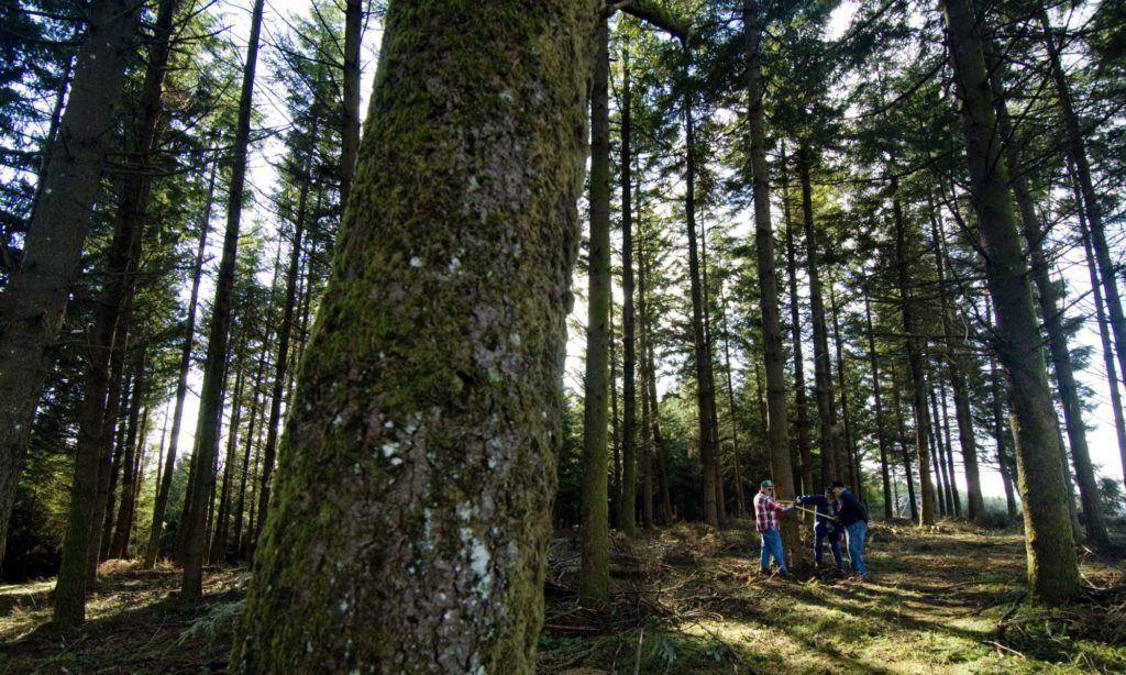 Three people measure a tree trunk diameter in a dense conifer forest.